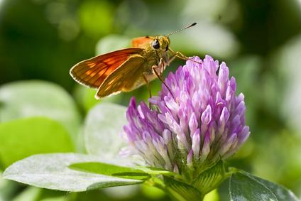 Бабочка на клевере